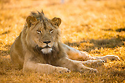 Lion (Panthera leo) subadult male