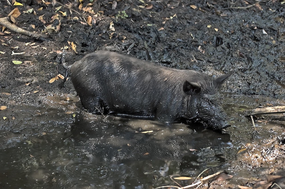 Pigs are pigs - and this boar just went hog wild in a mud puddle in Lee County, Florida.