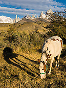 "A golden sunrise spotlights a white horse with brown spots grazing near Mount Fitz Roy (3405 meters or 11,170 feet), which rises abruptly on the border between Argentina and Chile in the Southern Patagonian Ice Field in the Andes mountains, near El Chaltén village, Argentina, South America. In 1877, explorer Perito Moreno named ""Cerro Fitz Roy"" for Robert FitzRoy (no space before the capital R) who, as captain of the HMS Beagle, had travelled up the Santa Cruz River in 1834 and charted much of the Patagonian coast. First climbed in 1952 by French alpinists Lionel Terray and Guido Magnone, Mount Fitz Roy has very fickle weather and is one of the world's most challenging technical ascents. It is also called Cerro Chaltén, Cerro Fitz Roy, and Monte Fitz Roy (all with a space before the R). Chaltén comes from a Tehuelche (Aonikenk) word meaning ""smoking mountain"" (explained by frequent orographic clouds). Cerro is a Spanish word meaning hill. El Chaltén village was built in 1985 by Argentina to help secure the disputed border with Chile, and now tourism supports it, 220 km north of the larger town of El Calafate. The foot of South America is known as Patagonia, a name derived from coastal giants, Patagão or Patagoni, who were reported by Magellan's 1520s voyage circumnavigating the world and were actually Tehuelche native people who averaged 25 cm (or 10 inches) taller than the Spaniards. Mount Fitz Roy is the basis for the Patagonia company's clothing logo, after Yvon Chouinard's ascent and subsequent film in 1968."