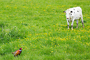 Holstein Friesian cow in meadow watching a pheasant in a pastoral nature scene, The Cotswolds, UK