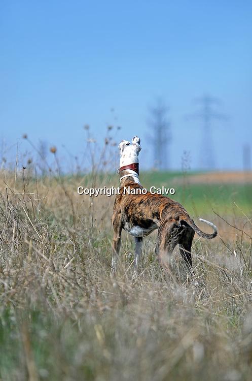 Elegant male Spanish Greyhounds enjoys a walk