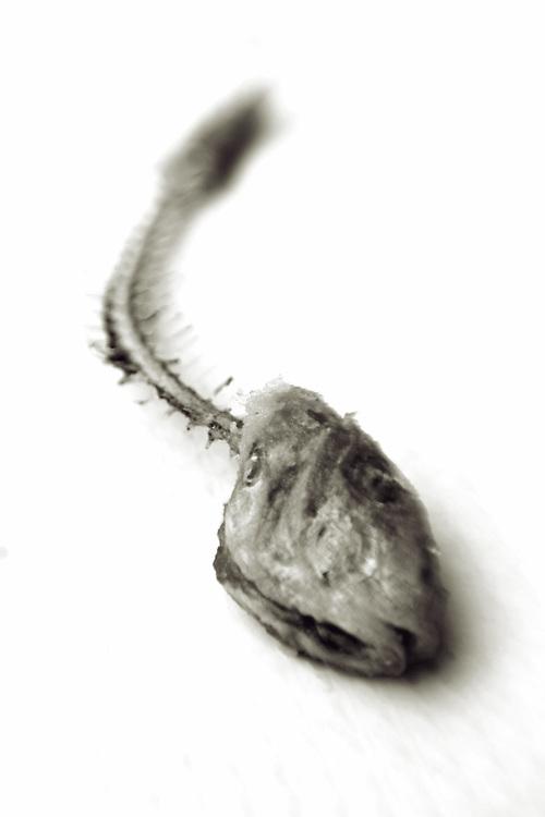fish skeleton on white