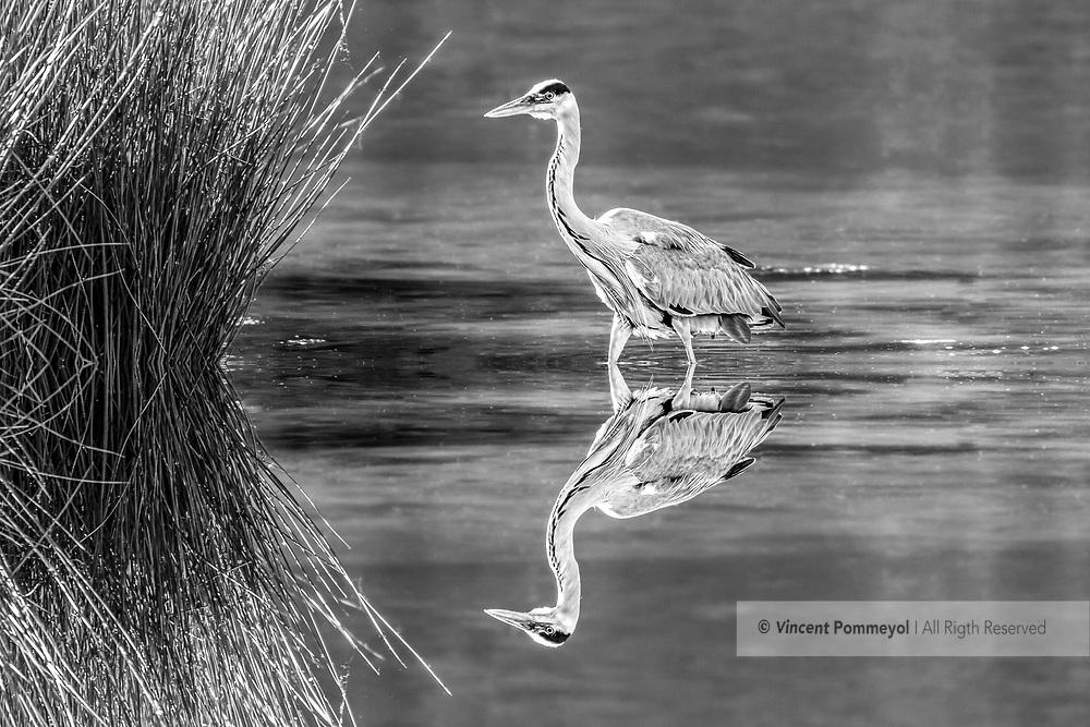 Grey heron-Héron cendré (Ardea cinerea), Auvergne, France.