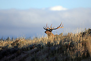 A bull elk crests a small rise at daybreak.