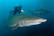 A diver swims with a Sand Tiger Shark (Carcharias taurus) on the wreck of the Caribsea, a freighter sunk during WWII by a German submarine, in the Outer Banks of North Carolina.