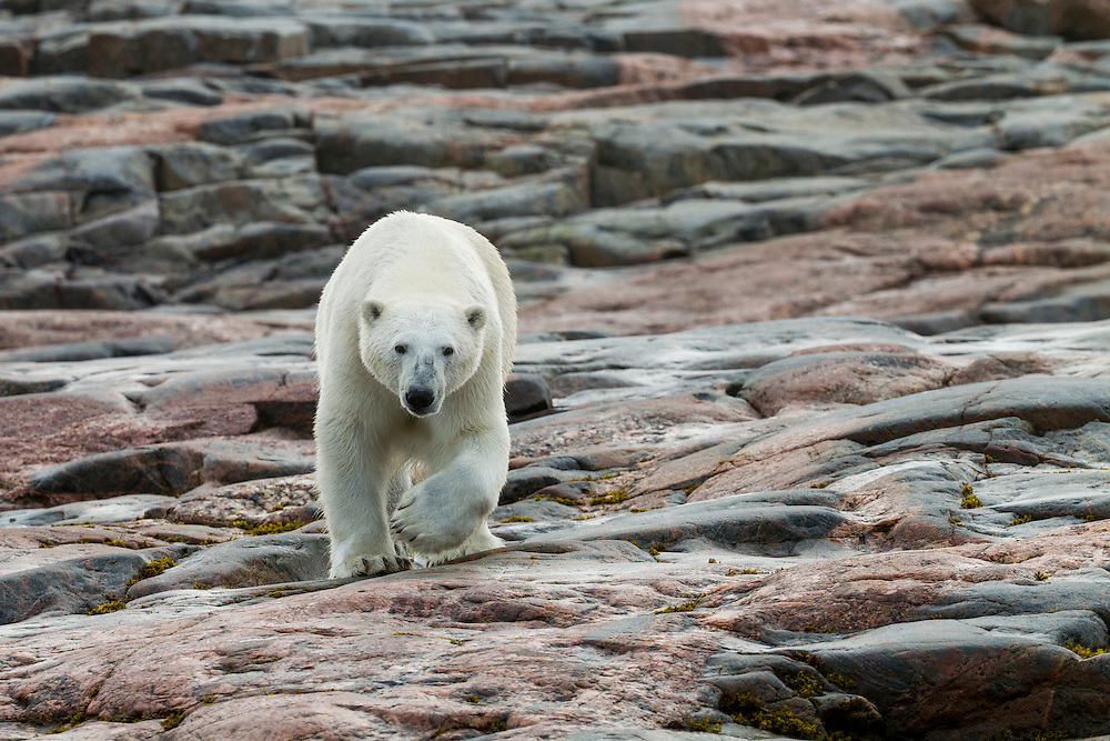 Canada, Nunavut Territory, Repulse Bay, Polar Bear (Ursus maritimus) walking across rock surface of Harbour Islands along Hudson Bay on summer morning