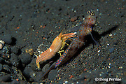 partner shrimp, Alpheus ochrostriatus, & goby, Amblyeleotris guttata, have symbiotic relationship; goby acts as watchdog; shrimp constructs burrow used by both; shrimp, nearly blind, keeps antenna on goby to monitor movements, Bali, Indonesia