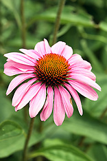 Cone Flowers Royalty Free Stock Images