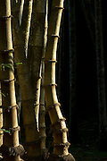 """Bamboo grove. at LUNUGANGA the country home and & garden of Sri Lanka's most celebrated architect, Geoffrey Bawa...""""Lunuganga, Bentota, 1948-1997....The garden at Lunuganga sits astride two low hills on a promontory which juts out into a brackish lagoon lying off the estuary of the Bentota River.  In 1948, when Bawa first bought it, there was nothing here but an undistinguished bungalow surrounded by ten hectares of rubber plantation.  Since then hills have been moved, terraces have been cut, woods have been replanted and new vistas have been opened up, but the original bungalow still survives within its cocoon of added verandas, courtyards, and loggias."""" from geoffreybawa.com"""