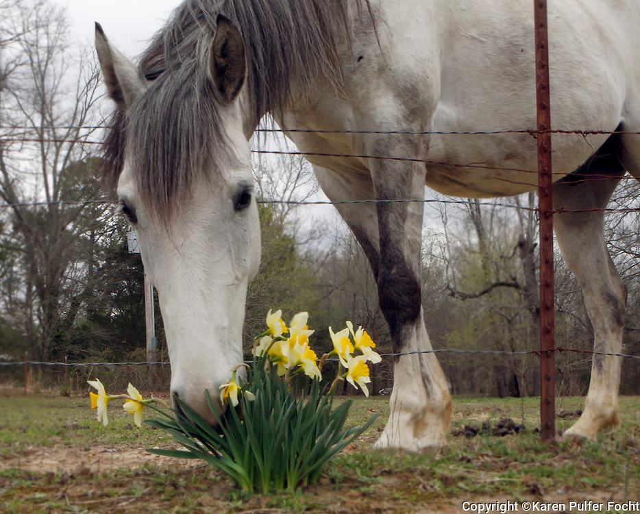 A horse smells the flowers, daffodils, Memphis, Tennessee.