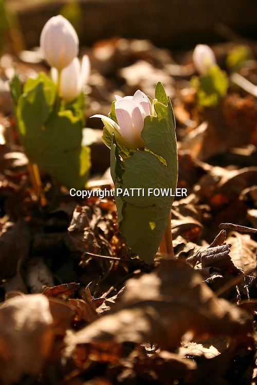 Wildflower bloodroot in bud