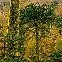 This Araucaria Forest is located in the Cani Sanctuary in the Northern Portion of Chilean Patagonia near the town of Pucon.<br />