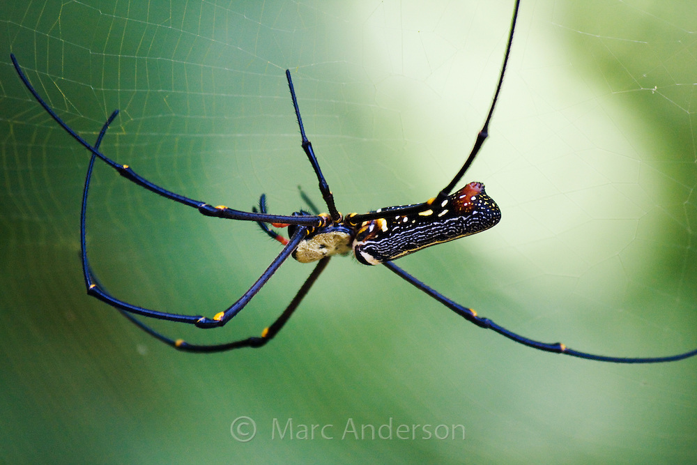 Colourful Nephila spider on a web, Thailand