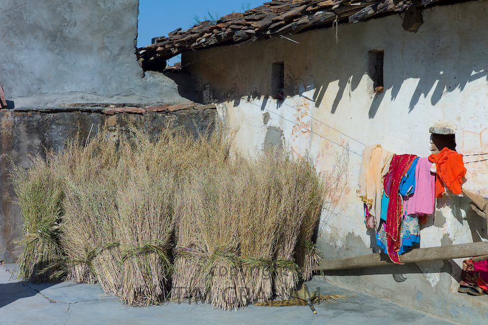 Drying mustard crop at home and laundry on washing line in Tarpal in Pali District of Rajasthan, Western India