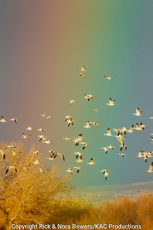 Snow Goose <br /> Chen caerulescens<br /> Bosque del Apache National Wildlife Refuge, New Mexico, United States<br /> 17 December    Adult light morph flock against rainbow.     Anatidae