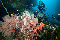 Diver, Sea fans, and reef fish.Shot in West Papua Province, Indonesia