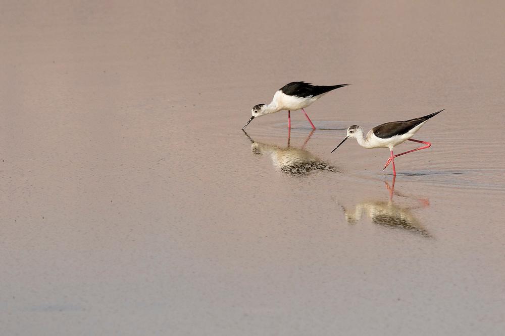 Pair of Black-winged Stilt Himantopus himantopus feeding on insects on salt pans, Eilat, Israel