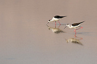 Pair of Black-winged Stilt Himantopus himantopus feeding on insects on salt pans, Eilat, Israel