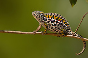 Jeweled Chameleon (Furcifer lateralis) commonly encountered across the island of Madagascar except in the northwest