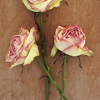Close up from above of three pale pink and white dried roses lying with stems intertwined on rough board