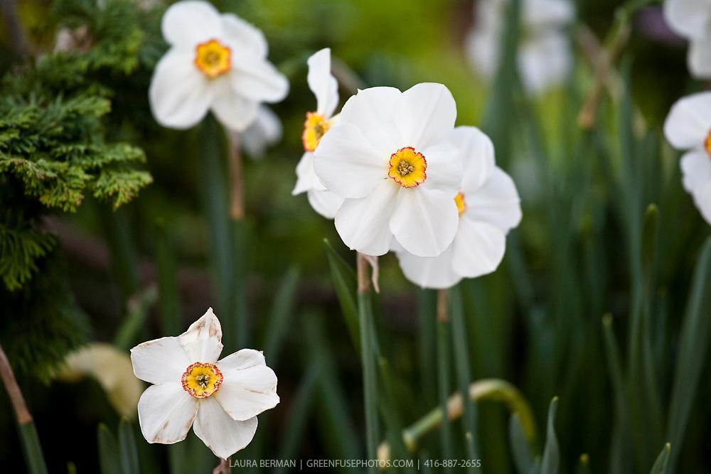 Narcissus Actaea - Pheasant Eye Narcissus