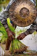 Transplanting Rice, Nakhon Nayok, Thailand