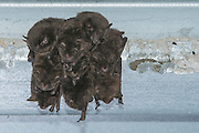 Indiana bats (Myotis sodalis) day roosting under a bridge in Indiana.