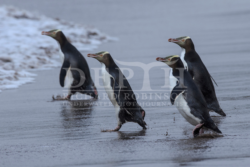 Megadyptes antipodes (Yellow eyed penguin) head to sea at dawn to forage for food at Sandy Bay, Enderby Island, Auckland Islands, New Zealand.<br /> 12 January 2016<br /> Photograph Richard Robinson &copy; 2016