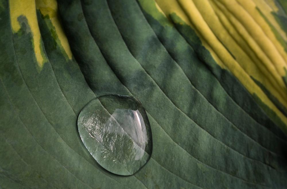 Droplet on a Hosta
