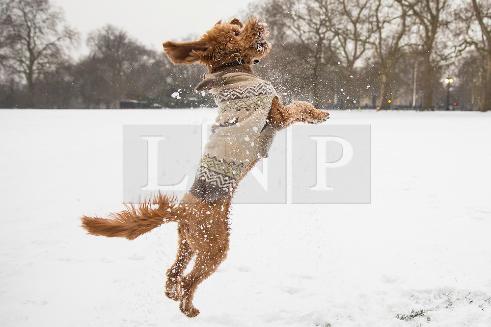© Licensed to London News Pictures. 01/03/2018. London, UK. Pico the Cockapoo jumps to catch a snowball in St James Park as severe weather continues in the capital. The 'Beast from the East' and Storm Emma have brought extreme cold and heavy snow to the UK. Photo credit: Rob Pinney/LNP