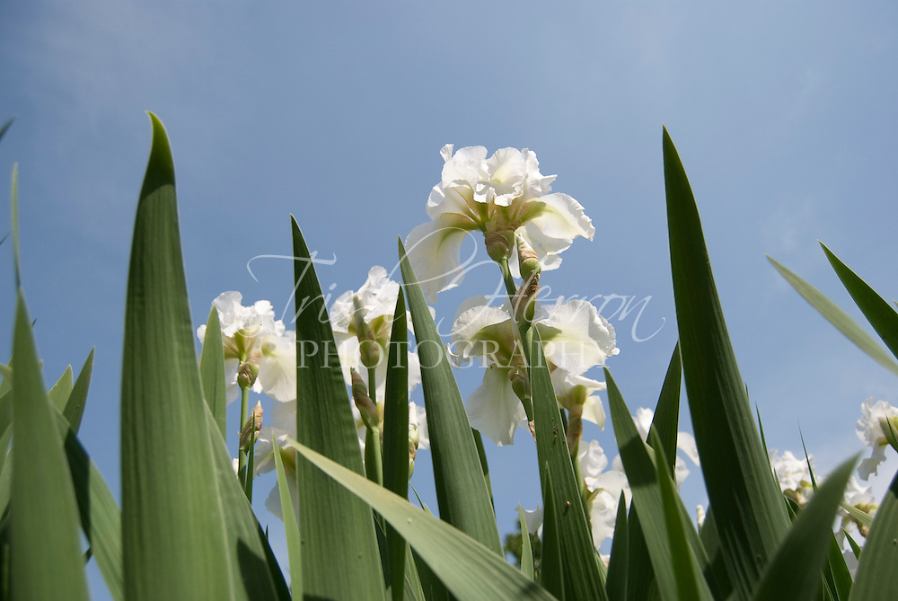White irises and their leaves stand against a blue sky.