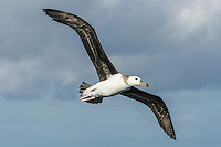 Immature Shy Albatross in flight, Cape Canyon Trawl Grounds, South Africa