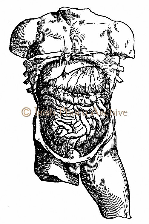 Abdominal cavity and its contents. From Andreas Vesalius 'De humani corporis fabrica ?' , Basle, 1543. Engraving.