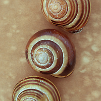Three brown and cream striped shells of Grove snail or Cepaea nemoralis on antique paper