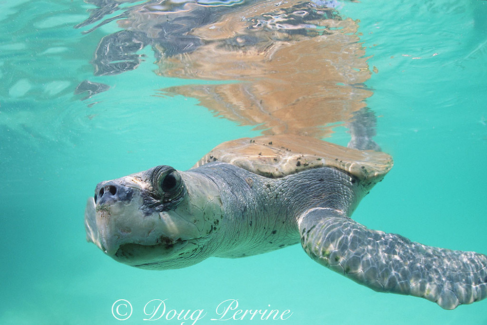 Kemp's ridley sea turtle, Lepidochelys kempii, Critically Endangered Species, Mexico