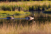 A pair of Canada geese (Branta canadensis) swim in a channel in Edmonds Marsh, Edmonds, Washington.