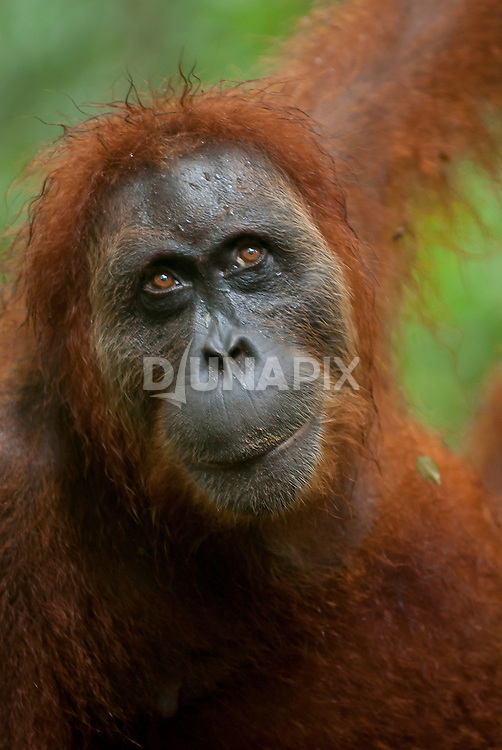 Close portrait of a Sumatran orangutan looking up towards the light