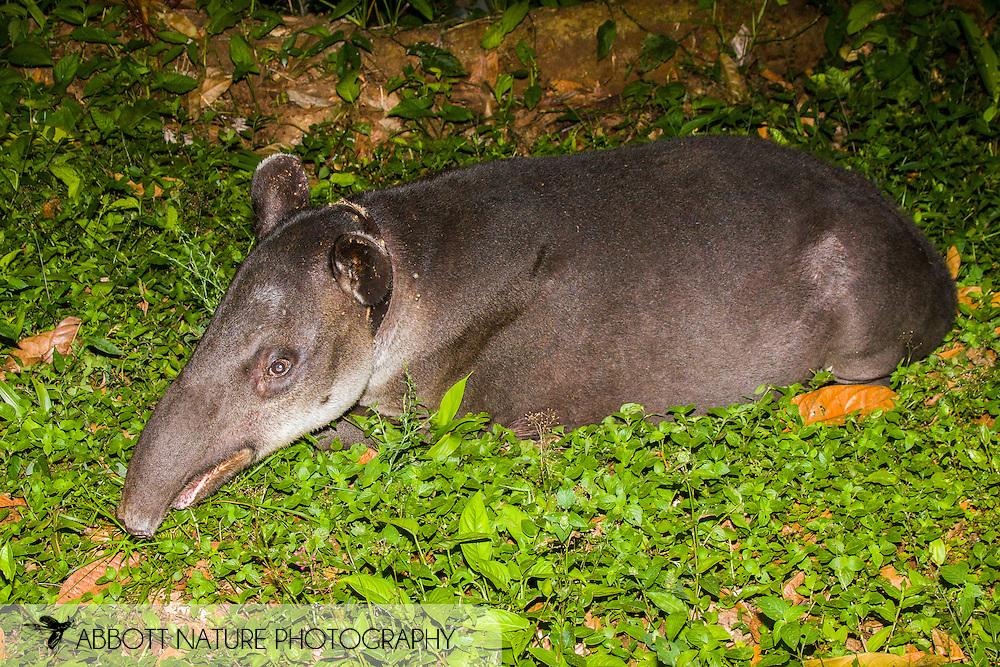 Tapirus bairdii - Mammasota (Central American Tapir, Baird's Tapir): Mammalia: Perissodactyla: Tapiridae<br /> COSTA RICA<br /> Corcovado National Park<br /> Sirena Biological Station<br /> 3-15.Jan.2008<br /> J.C. Abbott #2353
