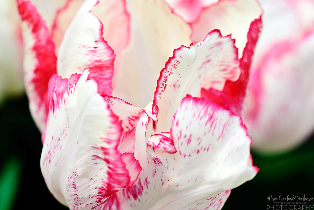 Triumph Tulip 'Toucan' Keukenhof Spring Tulip Gardens, Lisse, The Netherlands.