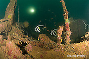 longfin bannerfish or pennant coralfish, Heniochus acuminatus on the wreck of a 100 m long American LST ( Landing Ship - Tank ) sunk at the end of WWII. The wreck sits upright at a depth of 28-35 m of water in Ilanin Bay, within Subic Bay, Philippines, MR 378