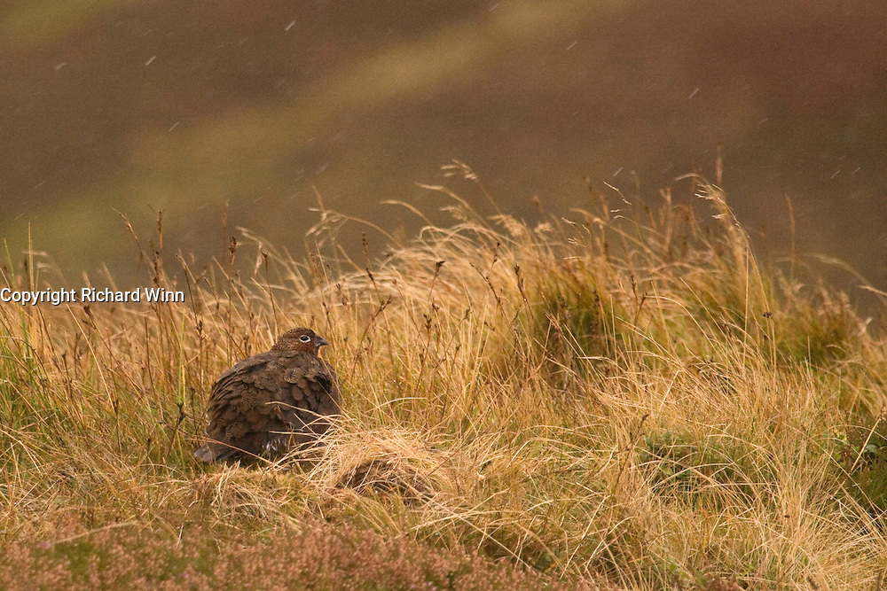 High ISO photograph of a red grouse in the rain, in the Scottish Highlands.