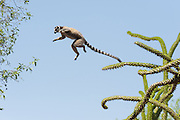 Ring-tailed Lemur<br /> Lemur catta<br /> Leaping from one tree to next<br /> Berenty Private Reserve, Madagascar