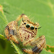 Hyllus sp. Jumping Spider. The jumping spider family (Salticidae) contains about 5,000 described species,  Jumping spiders have some of the best vision among arthropods and use it in courtship, hunting, and navigation.