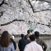 Visitors crowd the waterfront during the blooming of Washington DC's famous cherry blossoms around the Tidal Basin.