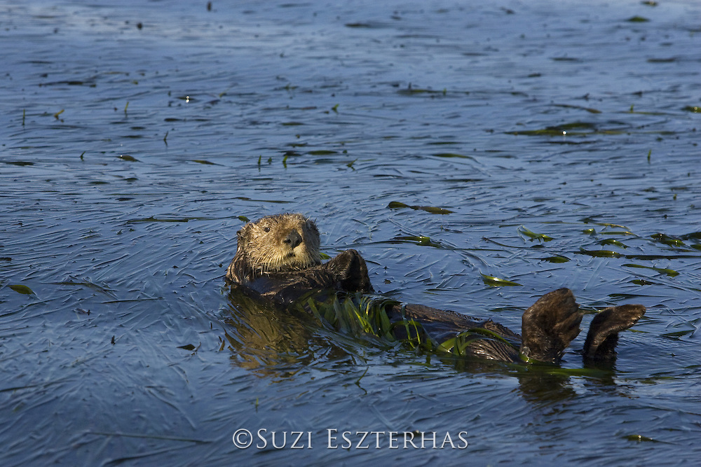 Southern Sea Otter<br /> Enhydra lutris<br /> Large male wrapped up in eelgrass<br /> Monterey Bay,  CA, USA