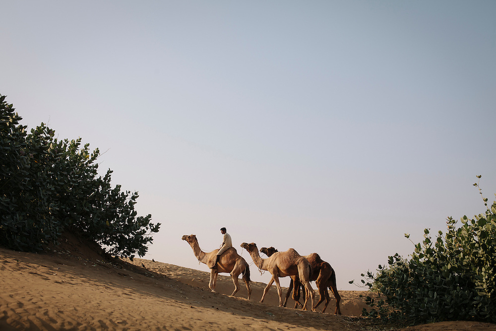 A camel train in Rajasthan, India