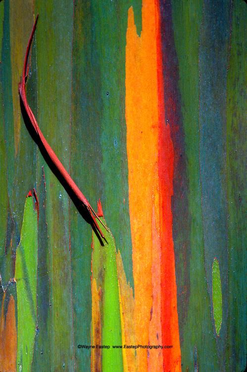 Bark of a Rainbow Eucalyptus Tree, Kauai, Hawaii