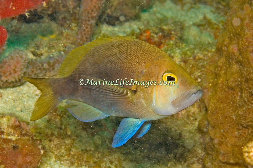 Tan Hamlet inhabit reefs in Tropical West Atlantic; picture taken Roatan, Honduras.