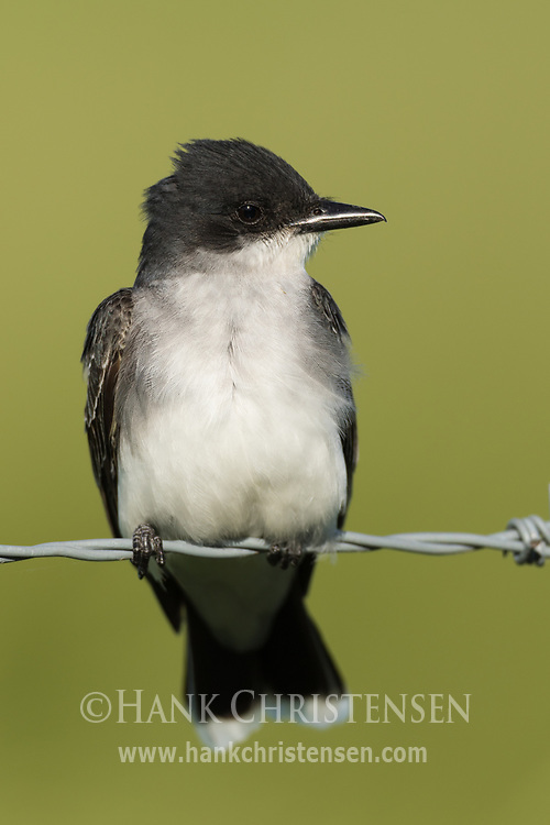 An eastern kingbird perches on a wire fence, Wolf Island, Ontario, Canada.
