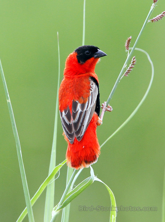 Northern Red Bishop, Euplectes franciscanus, Uganda, by Jonathan Rossouw